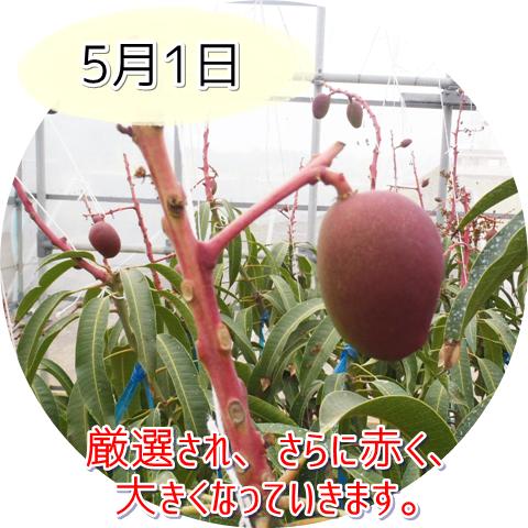 アップルマンゴーの木