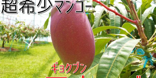 甘味濃厚の超希少マンゴー「玉文マンゴー」