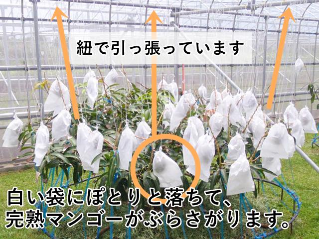 紐で引っ張っているので、白い袋に入ったマンゴーがぶらさがります