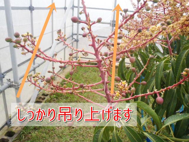 マンゴーの花をしっかり吊り上げます