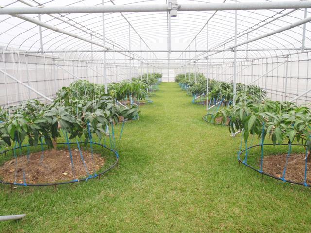 草生栽培による、徹底した温度管理