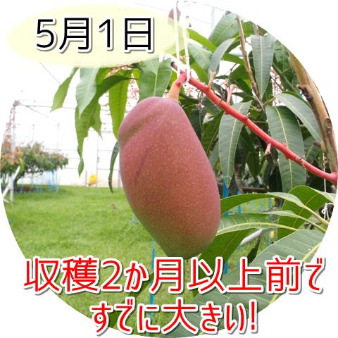 5月1日の玉文マンゴー!収穫2か月前でもう大きい