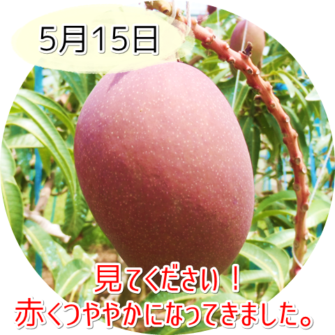 5月15日のアップルマンゴー!赤くなってきました