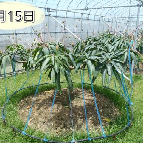 5月15日の紅龍マンゴーの木