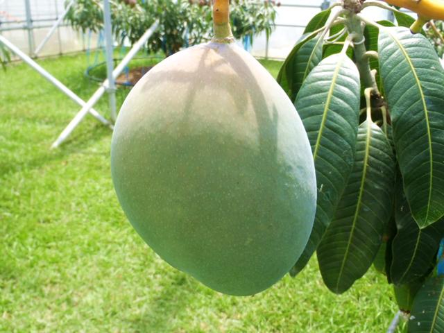キーツマンゴー通販単品