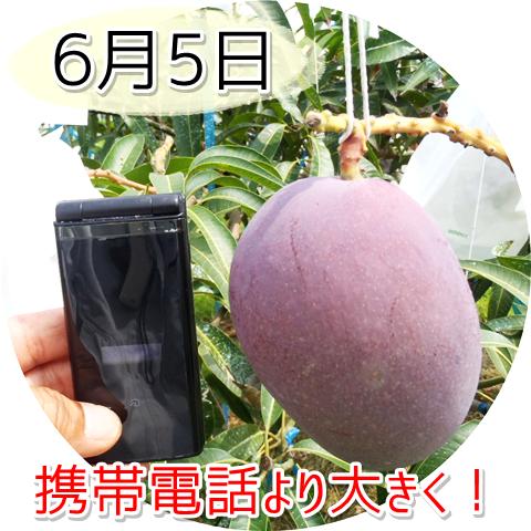 6月5日のアップルマンゴー!携帯電話より大きくなっています