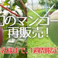 幻のマンゴー再販売