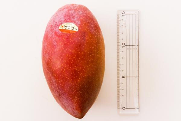 玉文マンゴーはりんごの2倍以上の大きさです