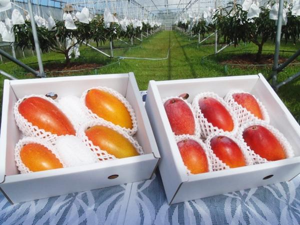 右がアップルマンゴー、左は紅龍マンゴーです