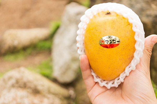 金蜜マンゴーがしっかり熟して袋に落ちるまで待ちます