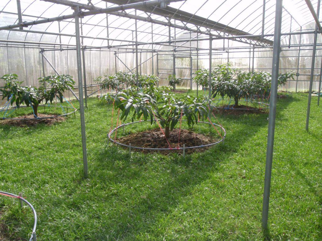 マンゴー園の様子